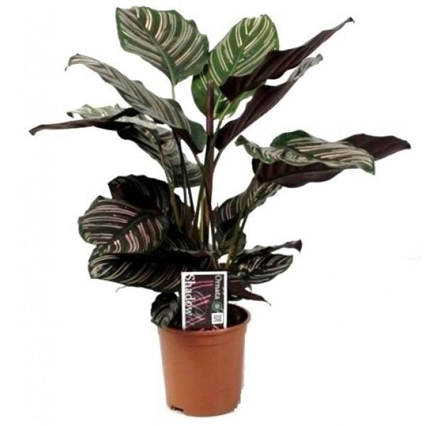 Купить комнатное растение в интернет магазине