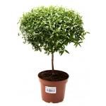 Мирт или Миртовое дерево
